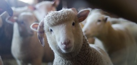 Střiž ovcí